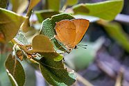 Habrodais g. grunus - Golden Hairstreak