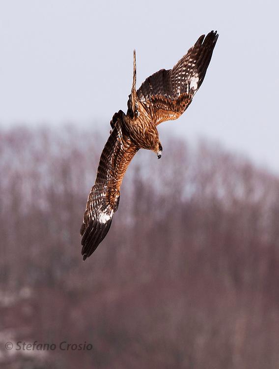 JAPAN, Eastern Hokkaido.Black-eared kite (Milvus migrans lineatus) diving for a fish