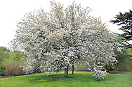 Malus baccata (Siberian crab apple) with spring blossom at Sir Harold Hillier Arboretum