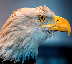 The Bald Eagle has been the national emblem of the United States since 1782 and a spiritual symbol for native people for far longer than that. These regal birds aren't really bald, but their white-feathered heads gleam in contrast to their chocolate-brown body and wings. Look for them soaring in solitude, chasing other birds for their food, or gathering by the hundreds in winter. Once endangered by hunting and pesticides, Bald Eagles have flourished under protection. <br />