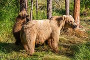 Alaskan Brown bears, sow and cub at Katmai National Park, Alaska.