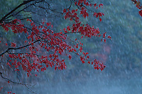 """Fall Snowstorm"".October snow at Walden Pond.  Wet snow drenches a maple tree.  Fall views a Walden Pond"