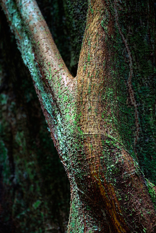 LORETO, PERU - CIRCA OCTOBER 2015:  Parts and details of tree trunk in the the Peruvian Amazon.