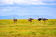 A flock of wild ostriches (Struthio camelus). This group consists of females and a male. The ostrich, a flightless bird, is the world's largest and tallest bird, being around 2.5 metres tall. It inhabits plains and dry areas in central and southern Africa, feeding on seeds, flowers, leaves and plant stems. When threatened, it can reach a top speed of around 64 kilometres per hour. Photographed in the Ngorongoro Conservation Area, Tanzania.