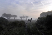RICHMOND SURREY. A female deer stands in the morning light. An autumnal morning at the beginning of the rutting season in Richmond Park, London. The males begin calling out and clashing antlers during the the season when they will compete with each other for the attention of females. 02 October 2010
