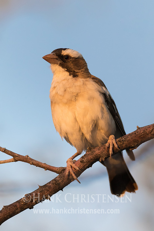 Warm light illuminates a white-browed sparrow-weaver at sunset, Etosha National Park, Namibia.
