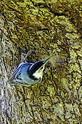 White-breasted Nuthatch - Sitta carolinensis working along the side of a tree trunk