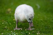 Baby trumpeter swan cygnet foraging for food. Original photo by KTM photo