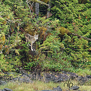 Gray Wolf (coastal) standing on rock shoreline;  Rescue Bay, British Columbia in wild.