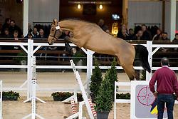 030, Nannan-A<br /> BWP Hengsten keuring Koningshooikt 2015<br /> © Hippo Foto - Dirk Caremans<br /> 23/01/16