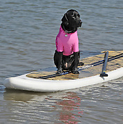 Black Labrador Sitting on a Stand Up Paddle Board on the Ocean in Newport Beach California