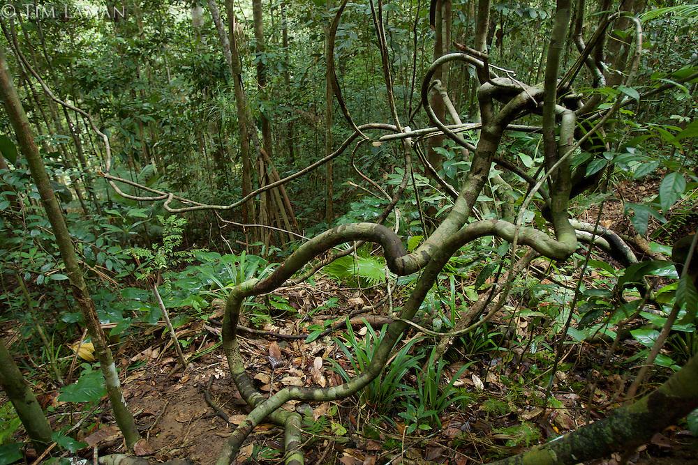 Rain forest interior view with lianas.<br />Halmahera Island, Indonesia.