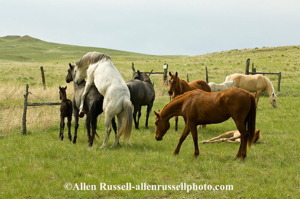 Quarter Horse stallion breeding mare in natural breeding ...