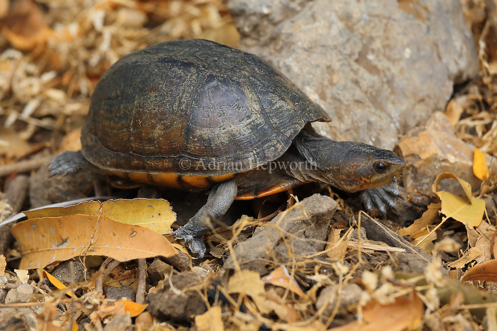 Scorpion mud turtle (Kinosternon scorpioides) walking in leaf litter. Tropical dry forest, Palo Verde National Park, Guanacaste, Costa Rica.