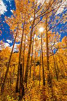 An aspen grove in autumn, 13,114 foot (3997 meter) Imogene Pass, San Juan Mountains, southwest Colorado USA.