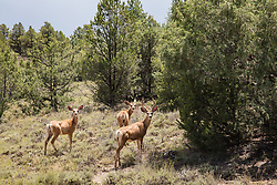 Three deer in a forest