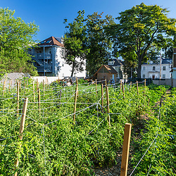 Tomatoes growing at the Garrison-Trotter Farm in the Dorchester neighborhood of Boston, Massachusetts.