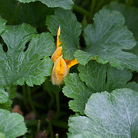 A golden zucchini blossom peaks out from within the helathy green zucchini leaves.