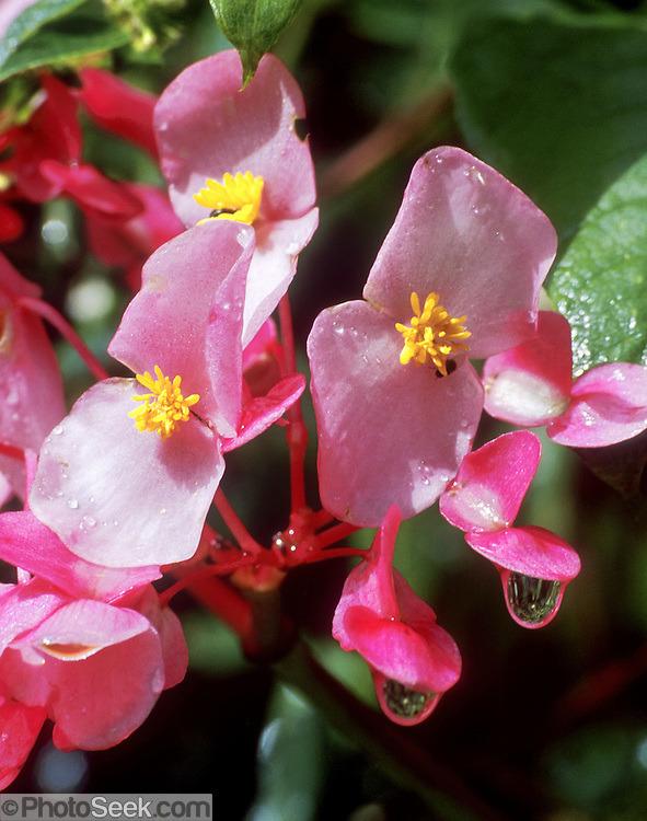 Water drips from a wild Begonia flower along the Inca Trail at Machu Picchu, in the Cordillera Vilcabamba, Andes mountains, Peru, South America.