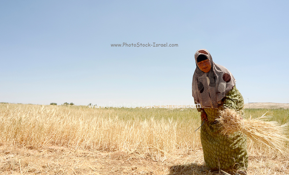 Manual wheat harvesting with a sickle