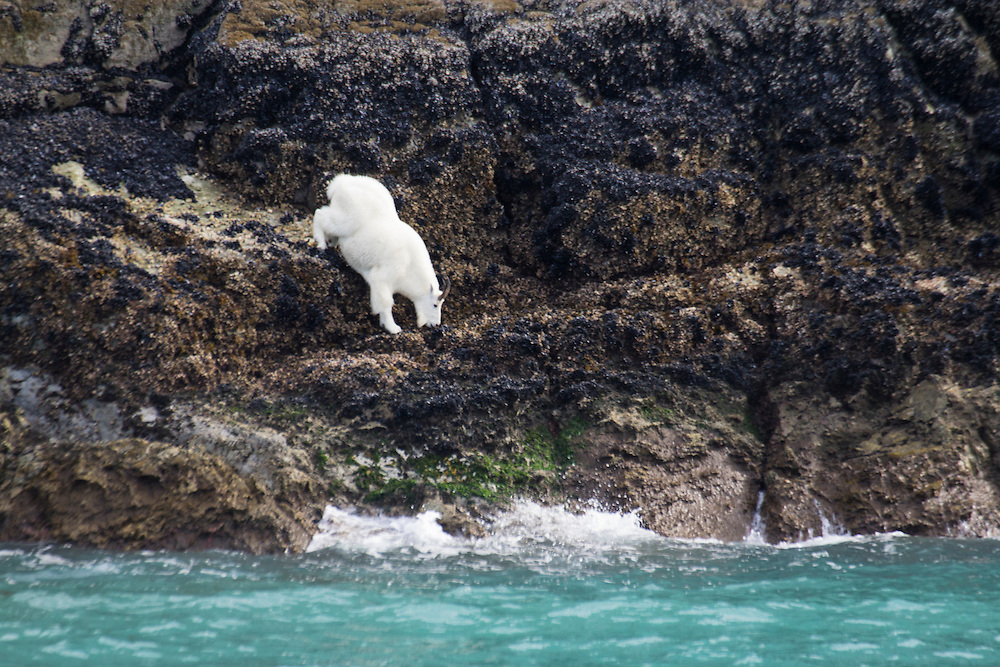 A rare shot of a mountain goat coming down to sea level in Glacier Bay.
