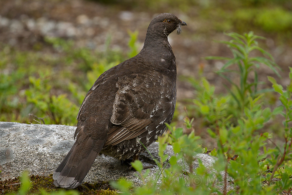 Sooty Grouse, male