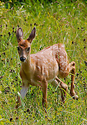 There is still a wildness to the dramatic hilly countryside surrounding.Glen Rock.  A weanling fawn comes out from cover to check on.a visitor to its homeland.
