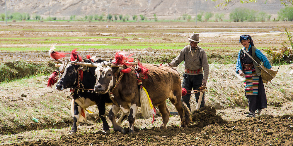 China, Tibet, farmers ploughing potato farm land with decorated cows