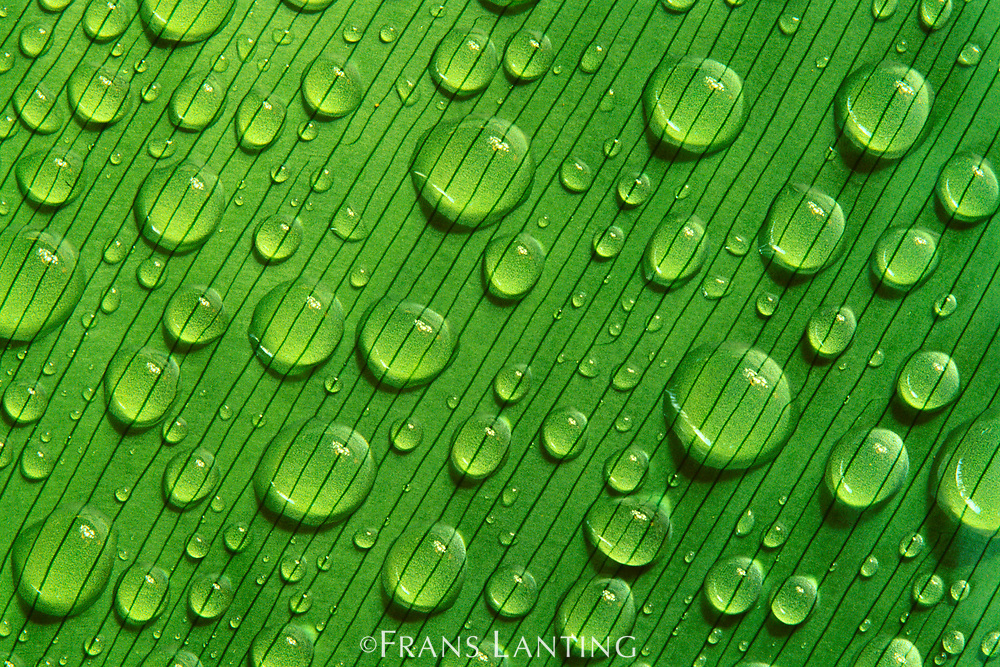Waterdrops on leaf, Tambopata National Reserve, Peru