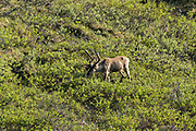Caribou forage on the tundra in Denali National Park Alaska. Denali National Park and Preserve encompasses 6 million acres of Alaska's interior wilderness.
