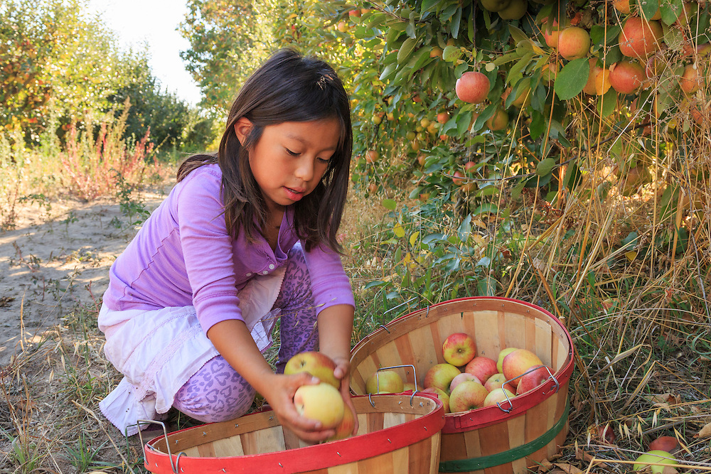 United States, California, girl picking apples from tree in orchard MR