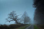 Empty lane on misty winter morning in The Cotswolds, Oxfordshire, UK. Falling ancient oak tree reclining on a slant.