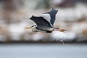 Escaping Gray Heron with a huge fresh shit falling down | Gråhegre i flukt med en stor fersk skit etter seg.