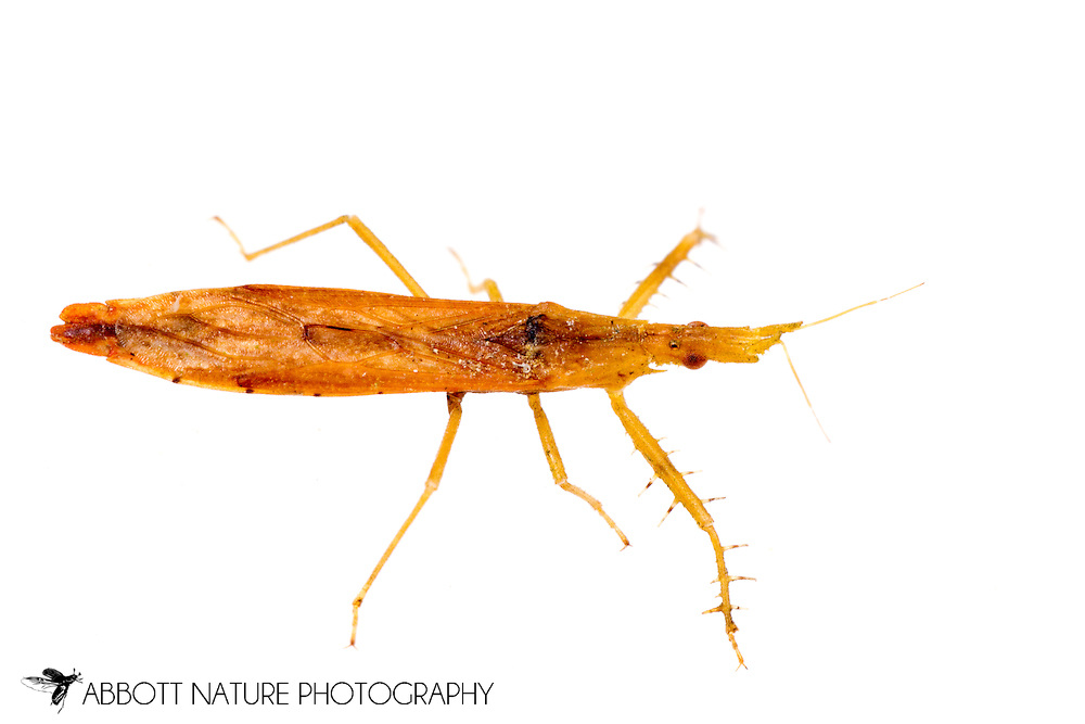Assassin Bug (Pnirontis infirma)<br /> United States: Alabama: Tuscaloosa Co.<br /> Tulip Tree Springs off Echola Rd.; Elrod<br /> 3-Jul-2016<br /> J.C. Abbott #2843 &amp; K.K. Abbott