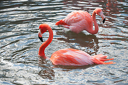 two pink flamingos in water