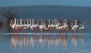 Greater flamingoes at Lake Bogoria, Kenya.