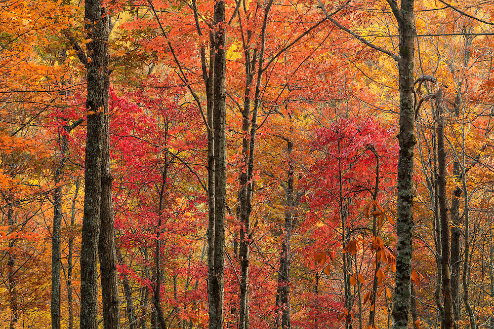 Fall Color Explosion Tree Grove - Laurel Falls Trail - Great Smoky Mountains