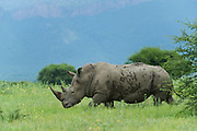 White Rhinoceros (Ceratotherium simum)<br /> Private Reserve, <br /> SOUTH AFRICA<br /> RANGE: Southern &amp; East Africa<br /> ENDANGERED SPECIES