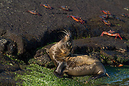 Galapagos Sea Lion (Zalophus californianus wollebaeki or Zalophus wollebaeki) pup<br /> ECUADOR: Galapagos Islands<br /> Punta Espinosa on Fernandina Island<br /> 25-Aug-2010<br /> J.C. Abbott
