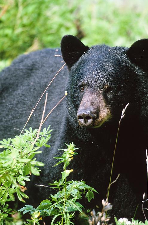 Alaska. Glacier Bay National Park, Barlett Cove. Black Bear (Ursus Americanus) wades through thick flora in search of ripe berries.