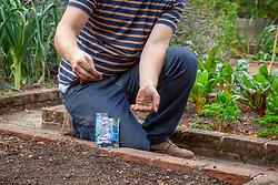 Sowing green manure - Phacelia tanacetifolia - Scorpion weed -  in the vegetable garden