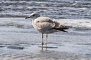 Kamchatka Mew Gull