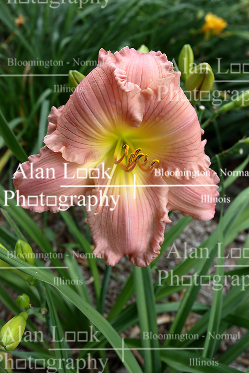 pink and yellow colored lily (Lilium) bloom