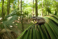 Squirrel Treefrog (Hyla squirrella), Jean Laffitte National Park, Louisiana
