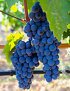 Kalecik Karasi grapes at Vinkara