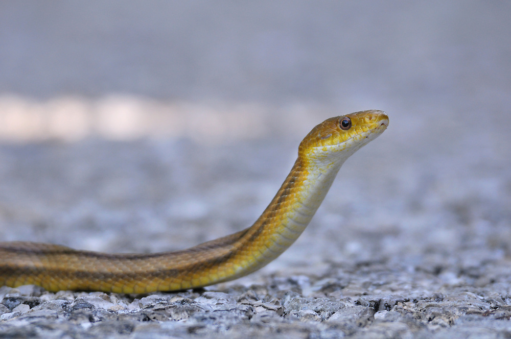 "Yellow Ratsnake at J.N. ""Ding"" Darling National Wildlife Refuge, Sanibel Island, near Fort Myers, Florida, USA"