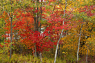 Autumn foliage on maple and birch trees in New York State, U.S.A.