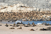 Cape fur seals at tideline (Arctocephalus pusillus pusillus) Tsau-ǁKhaeb-(Sperrgebiet)-Nationalpark, Namibia | Kap-Pelzrobbe (Arctocephalus pusillus pusillus), auch Südafrikanischer Seebär genannt in der in der Baker's Bay, Sperrgebiet National Park, Namibia