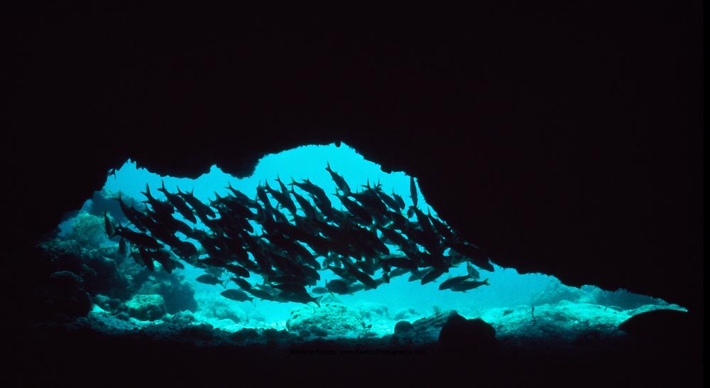 School of Grunts (family Pomadasyidae) hiding inside cave entrance.  Florida Keys