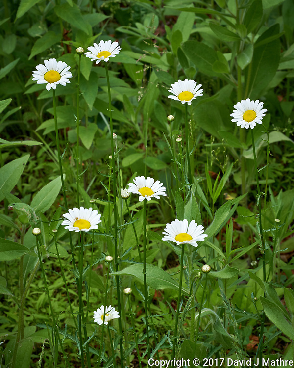 Patch of daisy wildflower. Backyard spring nature in New Jersey. Image taken with a Fuji X-T2 camera and 90 mm f/2 lens (ISO 200, 90 mm, f/11, 1/75 sec).